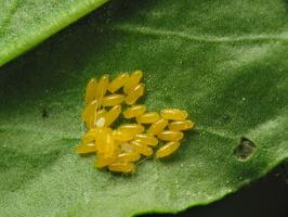 Chrysomelidae eggs · lapgraužio kiaušinėliai
