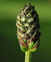 Plantago lanceolata · siauralapis gyslotis