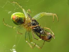 Araniella cucurbitina female with prey · raudondėmis voriukas ♀