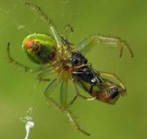 Araniella cucurbitina female feeding · raudondėmis voriukas ♀