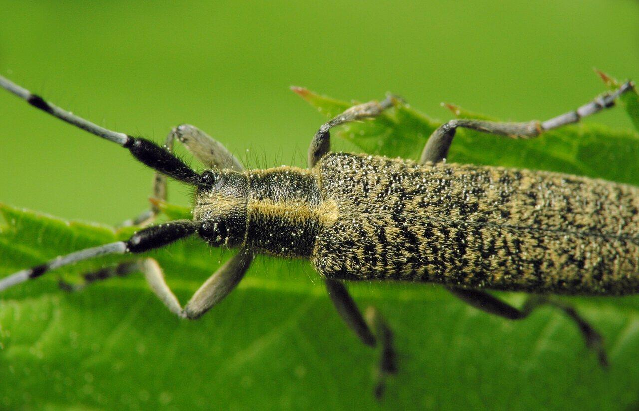 Agapanthia-villosoviridescens-6098.jpg