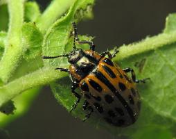 Chrysomela vigintipunctata · taškuotasis gluosninukas