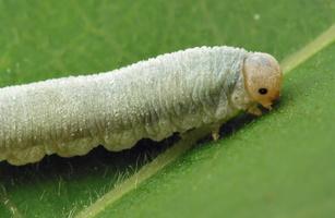 Hymenoptera larva · plėviasparnis, lerva 6383