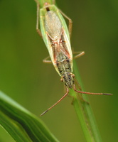 Myrmus miriformis var. macropter · žaliapilvė kampuotblakė