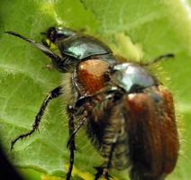 Phyllopertha horticola mating · grikinukas poruojasi