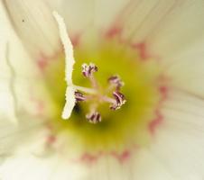 Convolvulus arvensis · dirvinis vijoklis