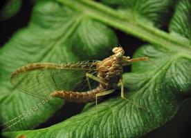 Cloeon dipterum female · lašalas ♀