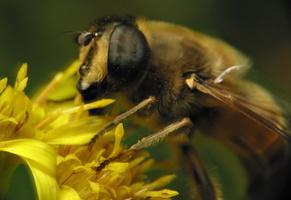 Syrphidae · žiedmusės 6482