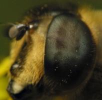Syrphidae · žiedmusės 6482_akis