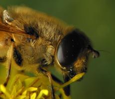 Syrphidae · žiedmusės 6483