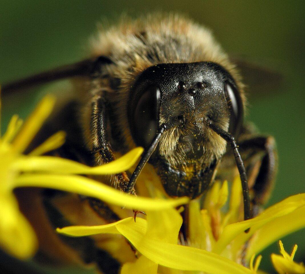 Apidae-6484.jpg