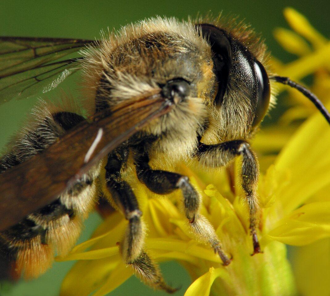 Apidae-6485.jpg