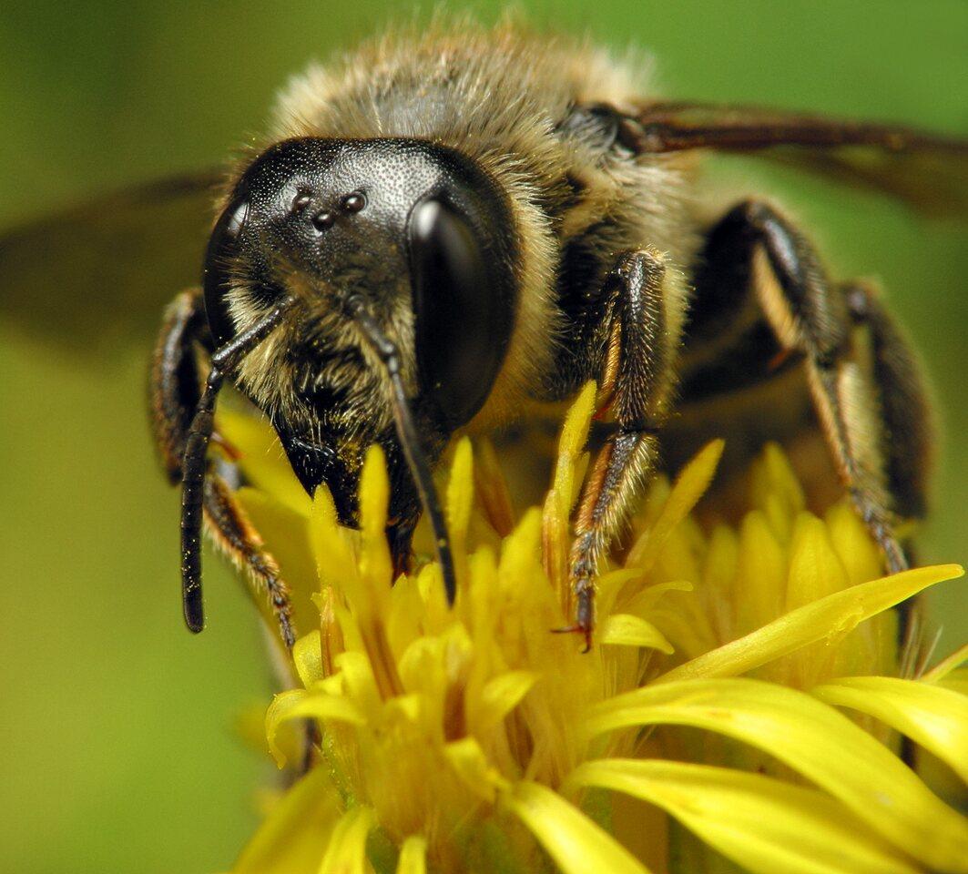 Apidae-6487.jpg