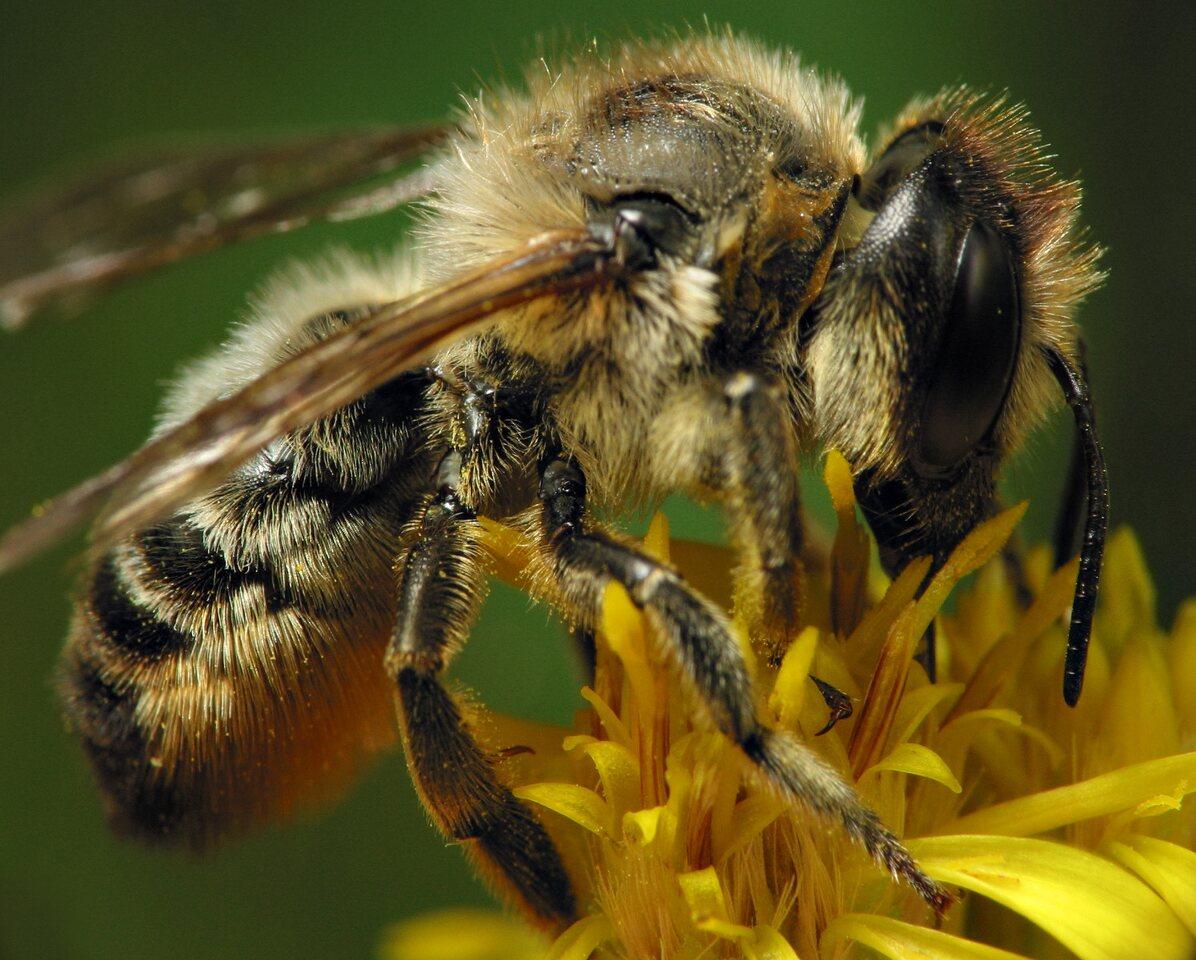 Apidae-6489.jpg