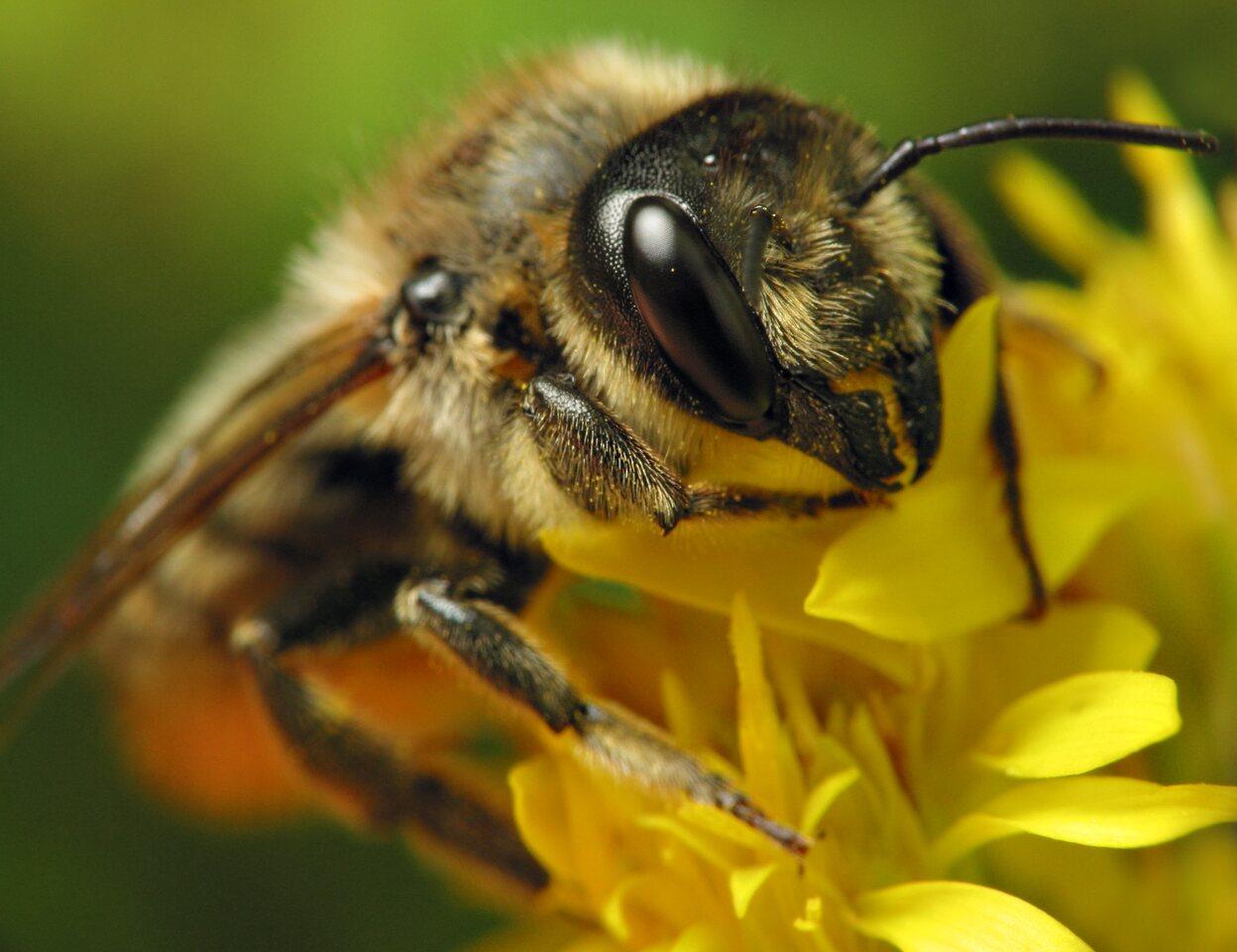 Apidae-6491.jpg