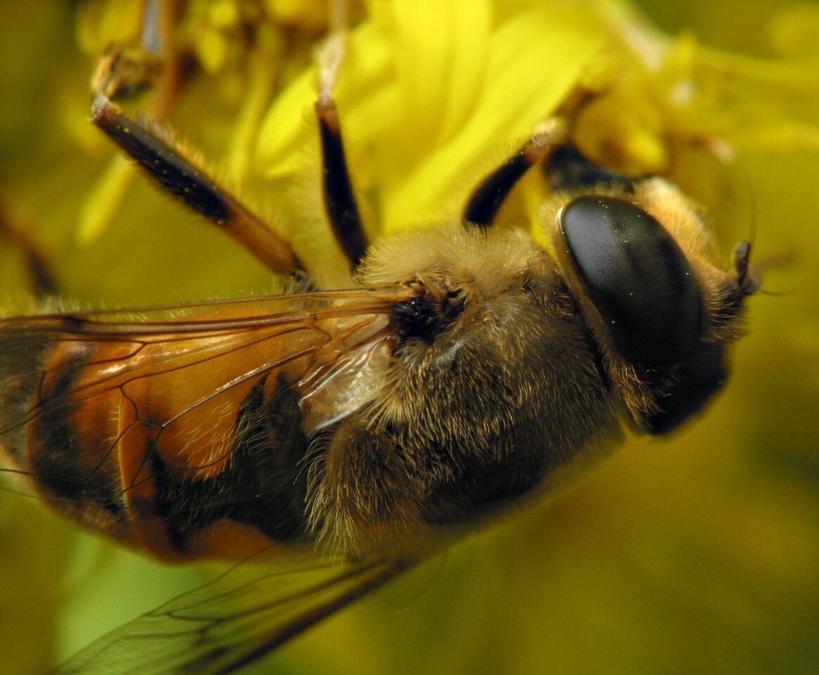 Syrphidae-6493.jpg