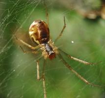 Tetragnathidae · storažandis