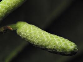 Corylus avellana catkin · paprastasis lazdynas, žirginys