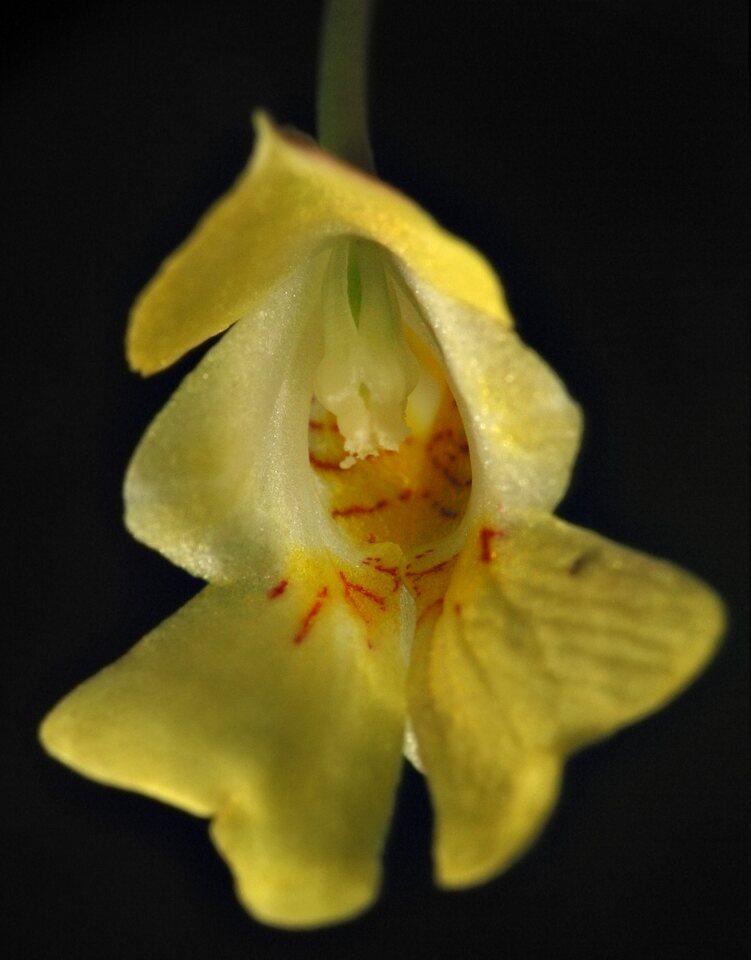 6504-Impatiens-parviflora.jpg