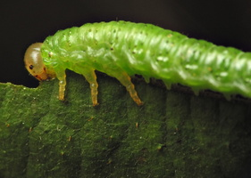 Hymenoptera larva · plėviasparnis, lerva 6521