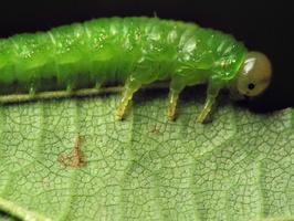 Hymenoptera larva · plėviasparnis, lerva 6522