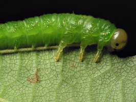 Hymenoptera larva · plėviasparnis, lerva 6523