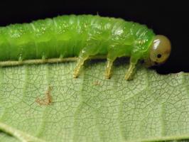 Hymenoptera larva · plėviasparnis, lerva 6524