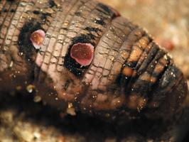 Deilephila elpenor caterpillar · pievinis sfinksas, vikšras