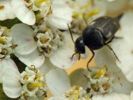 Variimorda villosa · paprastasis dygliavabalis