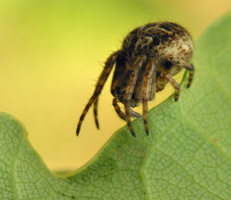 Agalenatea redii · rudasis rezginuolis