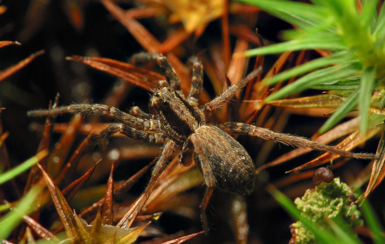 Lycosidae-6598.jpg