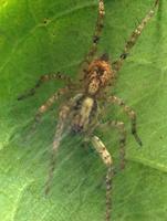 Anyphaena accentuata · miškinis gležnavoris