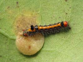 Euproctis similis, young caterpillar · geltonuodegis verpikas, jaunas vikšras