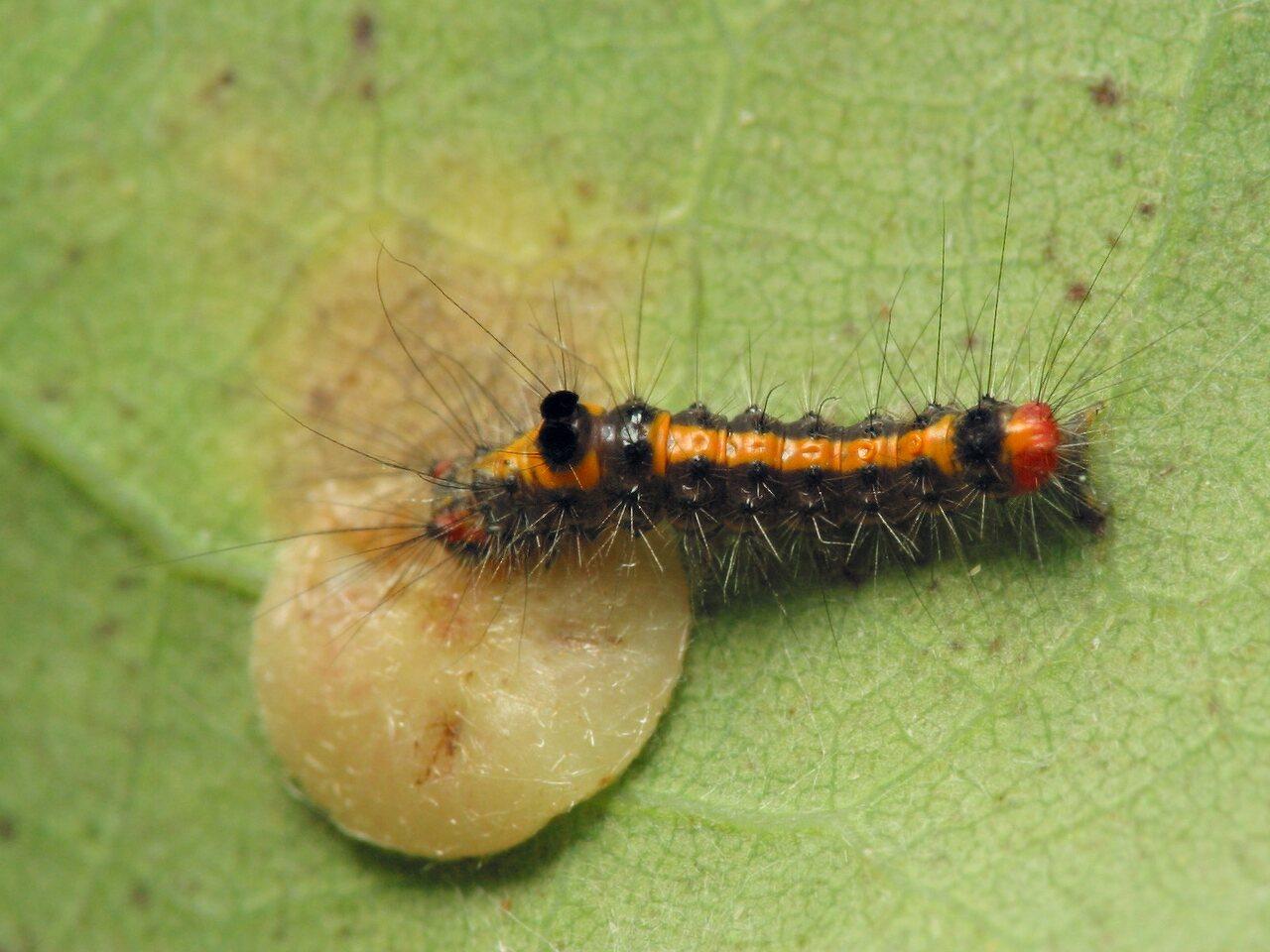 Euproctis-similis-6610.jpg
