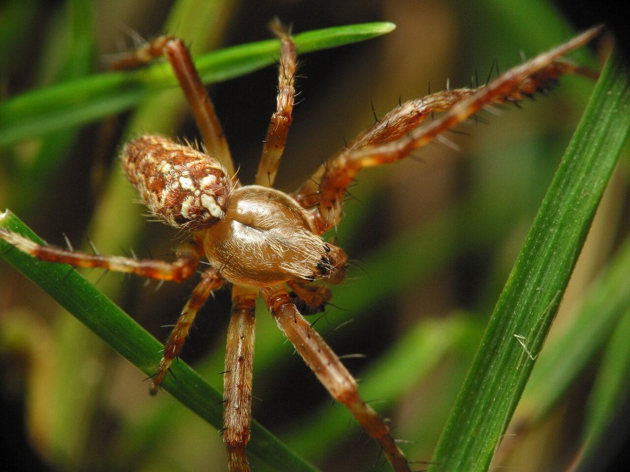 Araneus-diadematus-6628.jpg