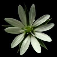 Stellaria palustris · pelkinė žliūgė