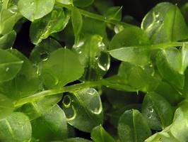 Plagiomnium affine · gulsčioji lapūnė