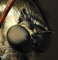 Asilidae eyes · musė plėšrūnė, akys