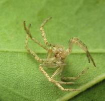 Anyphaena accentuata exuviae · miškinis gležnavoris, išnara