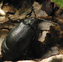 Galeruca tanaceti female · kraujažolinis grublys ♀