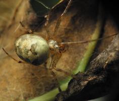 Metellina segmentata female · rudeninis skylūnas ♀