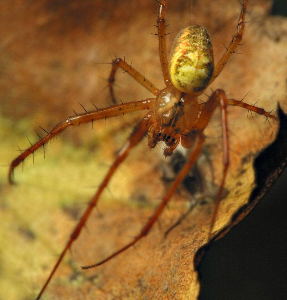 Tetragnathidae-6731.jpg
