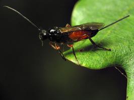 Hymenoptera 6740