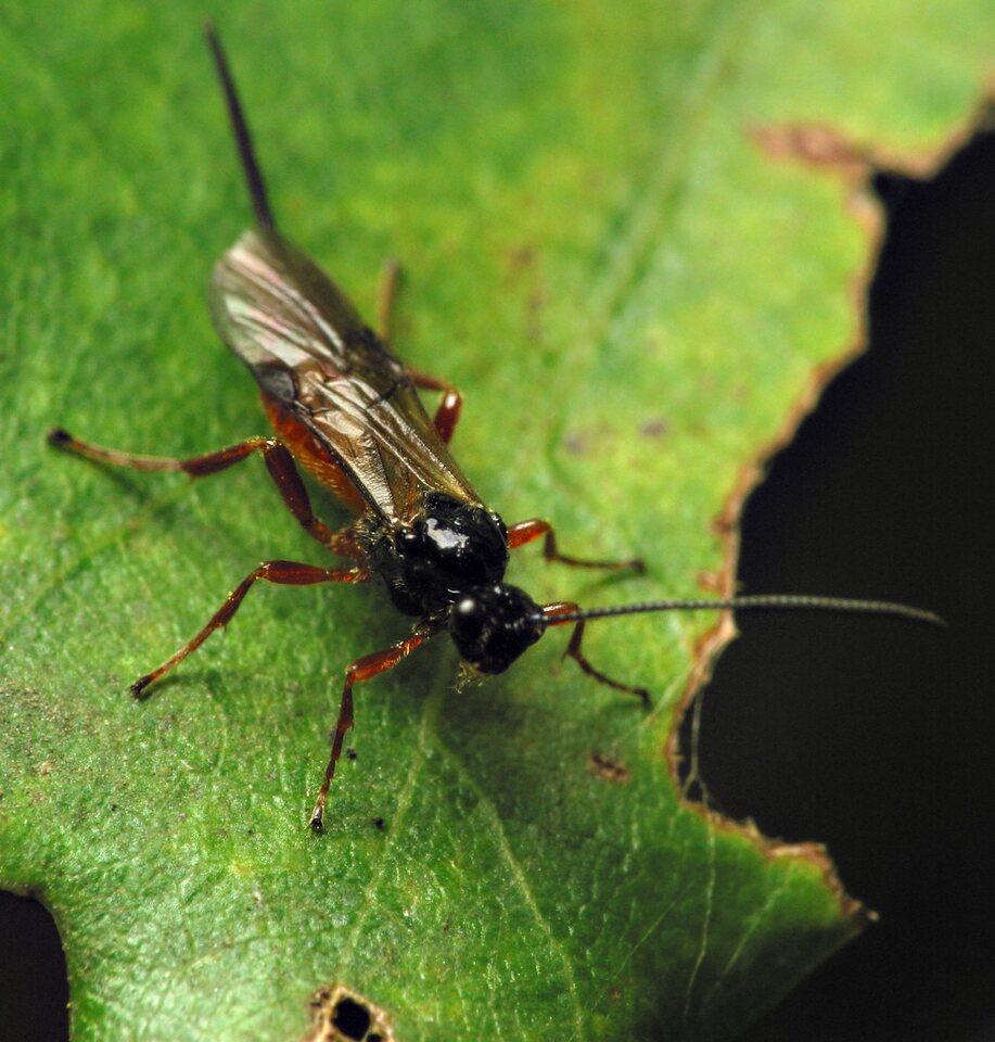 Hymenoptera-6743.jpg