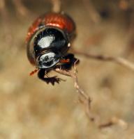 Aphodius fimetarius · raudonsparnis afodijus