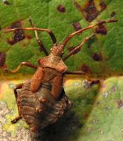 Coreus marginatus nymph · arkliarūgštinė kampuotblakė, nimfa