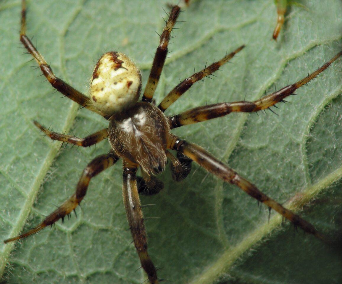 Araneus-quadratus-6795.jpg