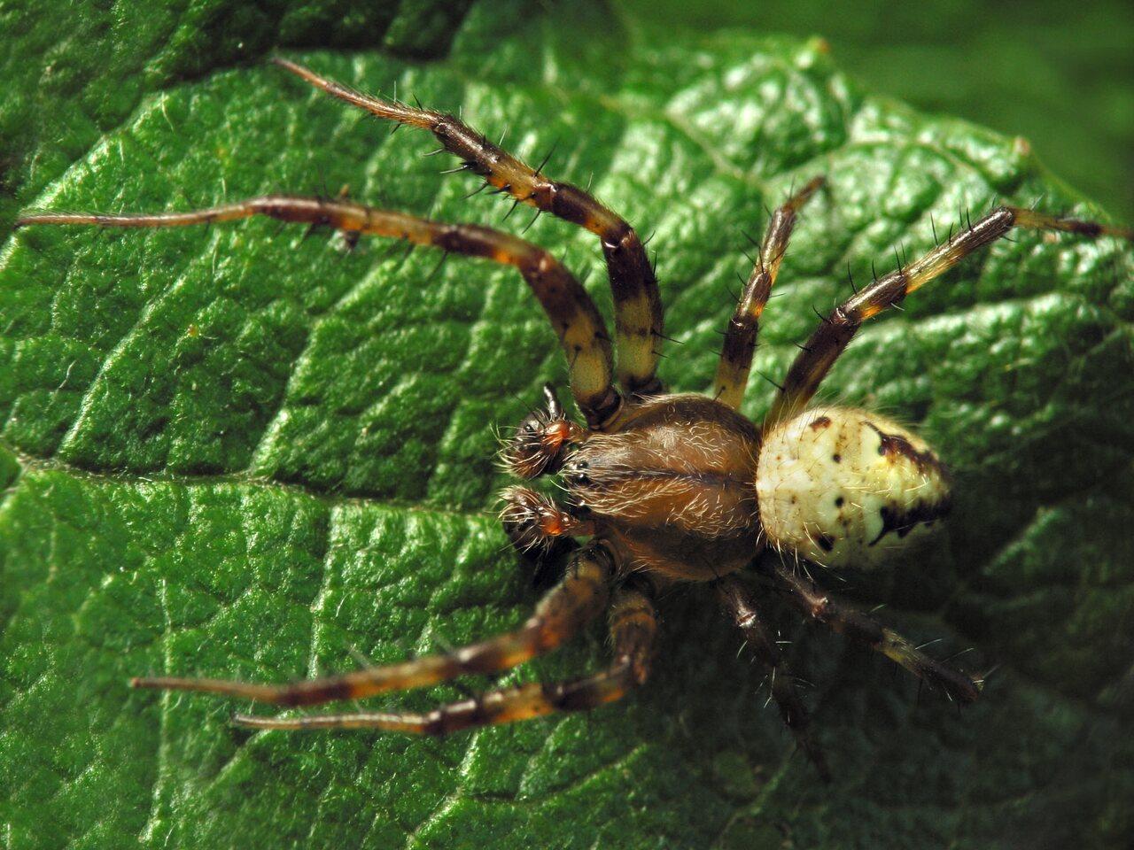Araneus-quadratus-6803.jpg