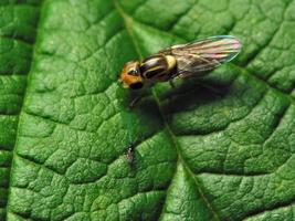 Chloropidae · javinės muselės