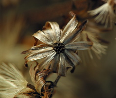 ~other Asteraceae